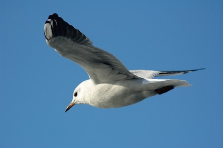 Close-up photo of flying sea gull