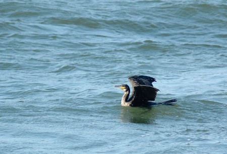 Photo of cormorant preparing to take wing from surface of the Baltic sea