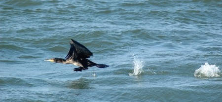 Photo of cormorant taking wing from surface of the Baltic sea