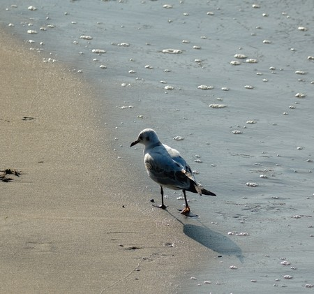Photo of sea gull walking at the sand coast of the Baltic sea