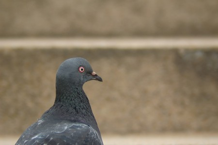 Pigeon head portraite with stone wall on background Stock Photo