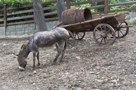 cartage: Donkey in the Safari park of the city Gelendzhik, Krasnodar region, Russia