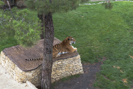 plinth: Tiger lying on a plinth in the aviary