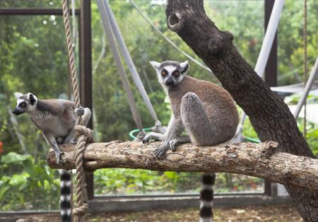 zoologico: Lemur de cola anillada en la pajarera zoo Foto de archivo