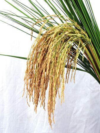 Basmati Rice Stalk with Green