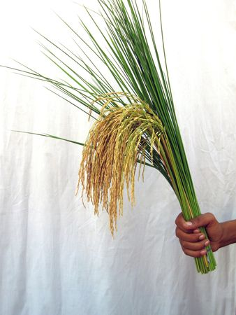 Basmati Rice Stalk with Green 2