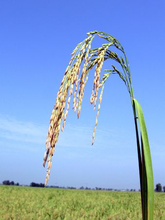 Alone Basmati Rice Stalk with Green