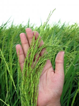 Basmati Rice Stalks on my Hand