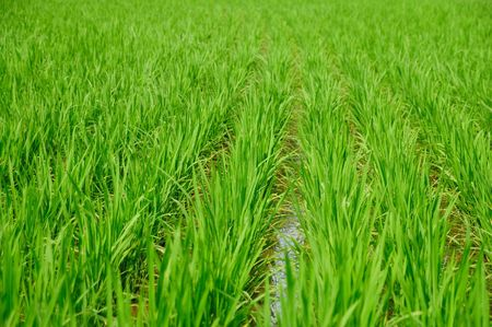 Green Paddy of Rice 2 Stock Photo - 3708393