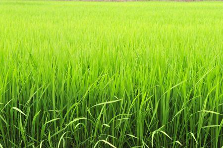 Paddy of Rice Stock Photo - 3708358