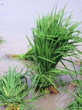 Bunch of Rice Paddy Stock Photo - 3708355