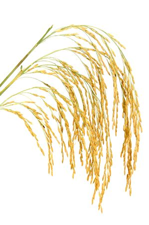 The panicle is part of the rice tiller that bears rice spikelets that develop into grains Stock Photo