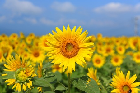 Beautiful Sunflower Landscape Stock Photo - 3948533