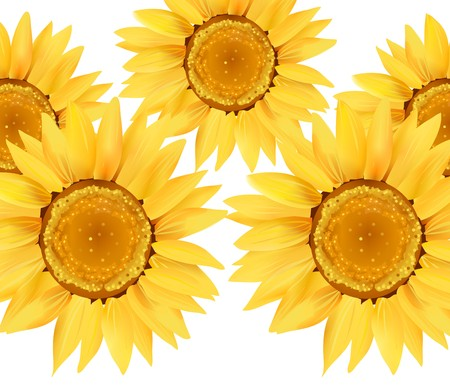 Sunflower Series on White Background 2 Stock Photo - 4046044