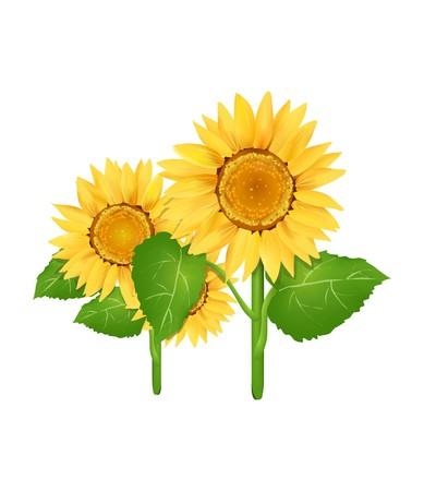 Sunflower Series on White Background 5  Stock Photo - 4046039