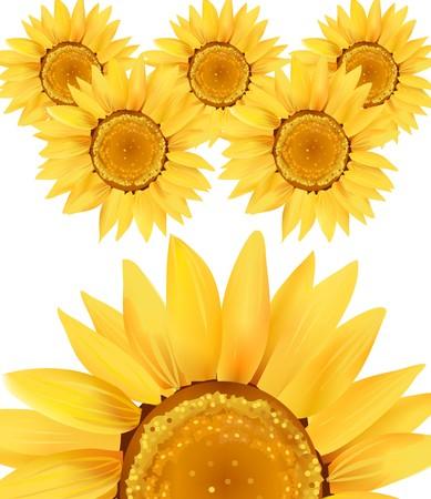 Sunflower Series on White Background 7  Stock Photo - 4046043