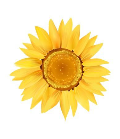 Sunflower Series on White Background 9  Stock Photo - 4046038