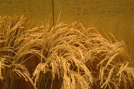 Green Rice Stalk ready to harvest in next month 13 Stock Photo - 4801844