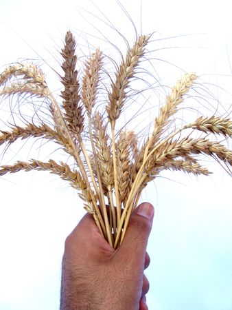 Bundle of wheat  Stock Photo - 4892132