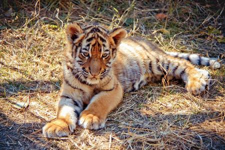 tiger cub:  tiger cub Stock Photo
