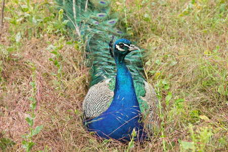 strut: Peacock sitting on the grass