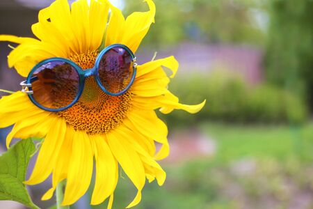 Close up of sunflower with blue sunglasses