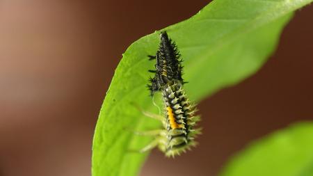 sitt: Insect larva Ladybug beetle bug sitt in green leaf, macro, grass on green background, forest, field, garden, Europe