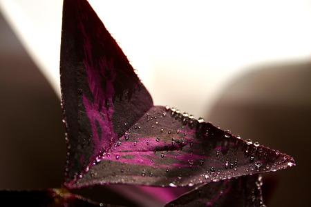 Purple flower indoor leaf with dew drops.