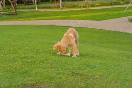 Golden puppy playing with his toy on green grass Banque d'images