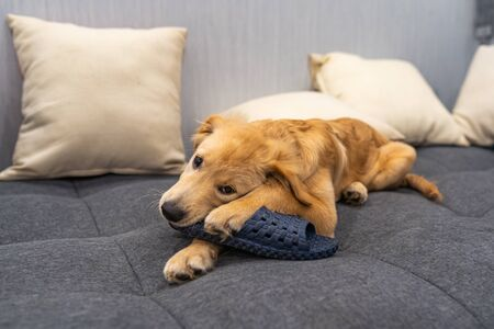 Naughty golden fluffy dog biting a shoe at living room