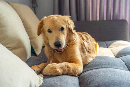 Naughty golden retriever puppy chewing the rawhide bone on sofa