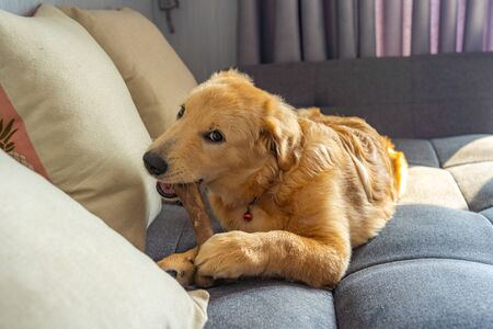 Mischief golden retriever puppy playing and chewing tasty bone on sofa Фото со стока