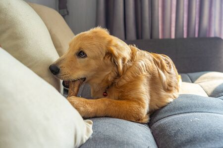 Four-months old golden retriever dog chewing rawhide bone on sofa