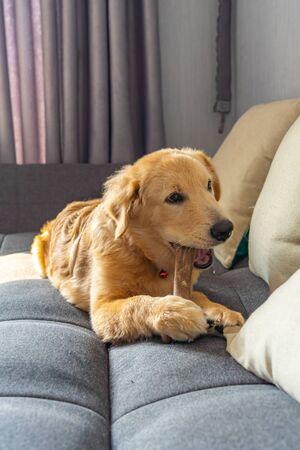 Young beautiful golden retriever biting his rawhide bone on sofa Фото со стока