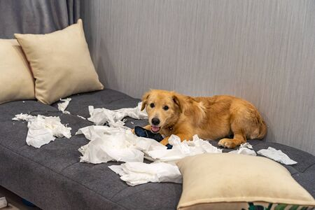 Cute little golden retriever dog playing toilet paper on sofa bed