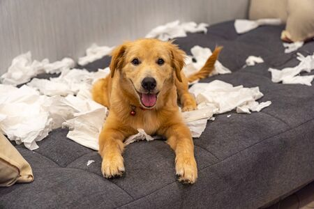 Cheerful golden retriever dog playing toilet papers on sofa