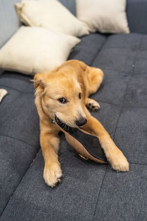 Portrait of naughty golden puppy biting shoe at living room