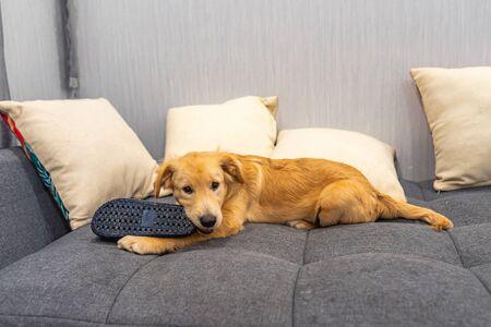 Naughty golden retriever dog biting a slipper on sofa bed