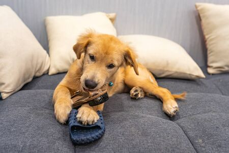 Naughty golden retriever puppy playing and biting slippers and shoes