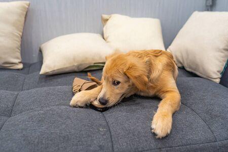 Golden retriever puppy biting a female shoe on sofa bed 版權商用圖片