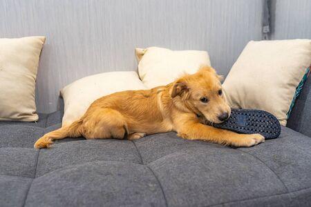Little golden retriever puppy laying on sofa and biting slipper 版權商用圖片