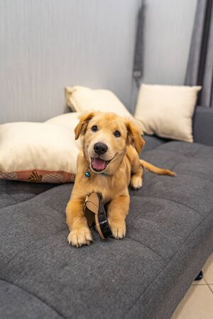 Portrait of naughty golden puppy laying on sofa with a shoe