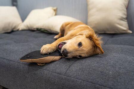 Playful golden retriever puppy biting a shoe on sofa at home 版權商用圖片