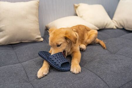 Naughty golden retriever baby dog biting a shoe at living room