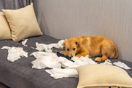 Guilty golden retriever puppy laying on white toilet papers at sofa