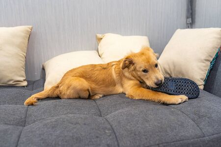 Golden retriever puppy laying on sofa and biting slipper