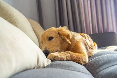 Portrait of purebred golden retriever dog lying on sofa