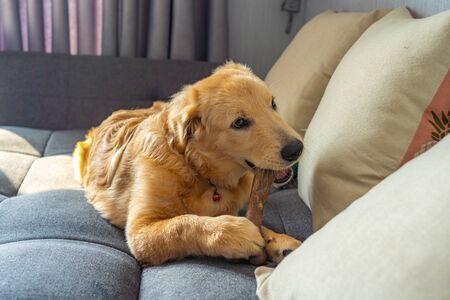Beautiful golden retriever puppy chewing a bone on sofa Фото со стока