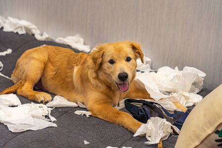 Naughty bad golden retriever dog playing tissue papers at home Archivio Fotografico