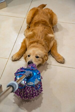 Naughty golden dog playing with the floor wiper at living room Zdjęcie Seryjne